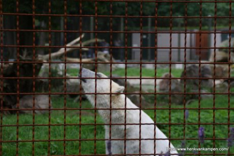 Polar bear in Dutch zoo